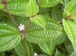 mazambody,watouck,tabac boeuf,fo watouk,rhododendron,analamazaotra